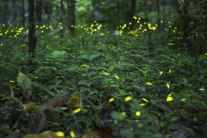 synchronous fireflies at Elkmont