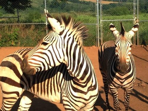 Medium Of Pictures Of Zebras
