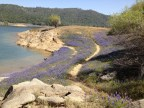 Trail of lupine blooming along North Fork Ditch at Folsom Lake