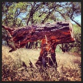 Balance of the toppled tree, So. Fork American River Trail