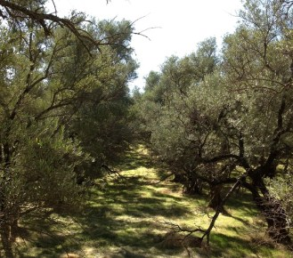 Abandon olive orchard, east of Auburn-Folsom Rd., west of Prison.