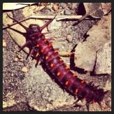 Orange horny caterpillar, Pioneer Express Trail