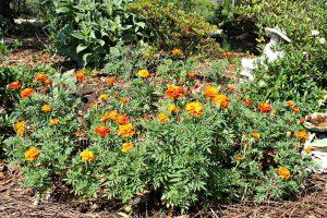 Marigold flower bed in my yard.intelligentdomestications.com