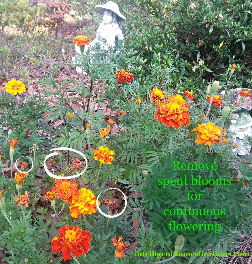 Marigolds in need of dead heading.intelligentdomestications.com