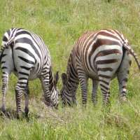 A Drive on the Wild Side - Life & Death on the Serengeti, Part 3
