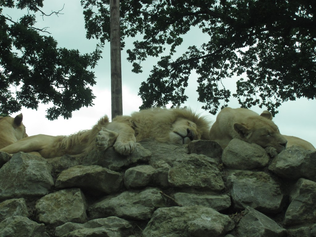 sleeping lions on a rock