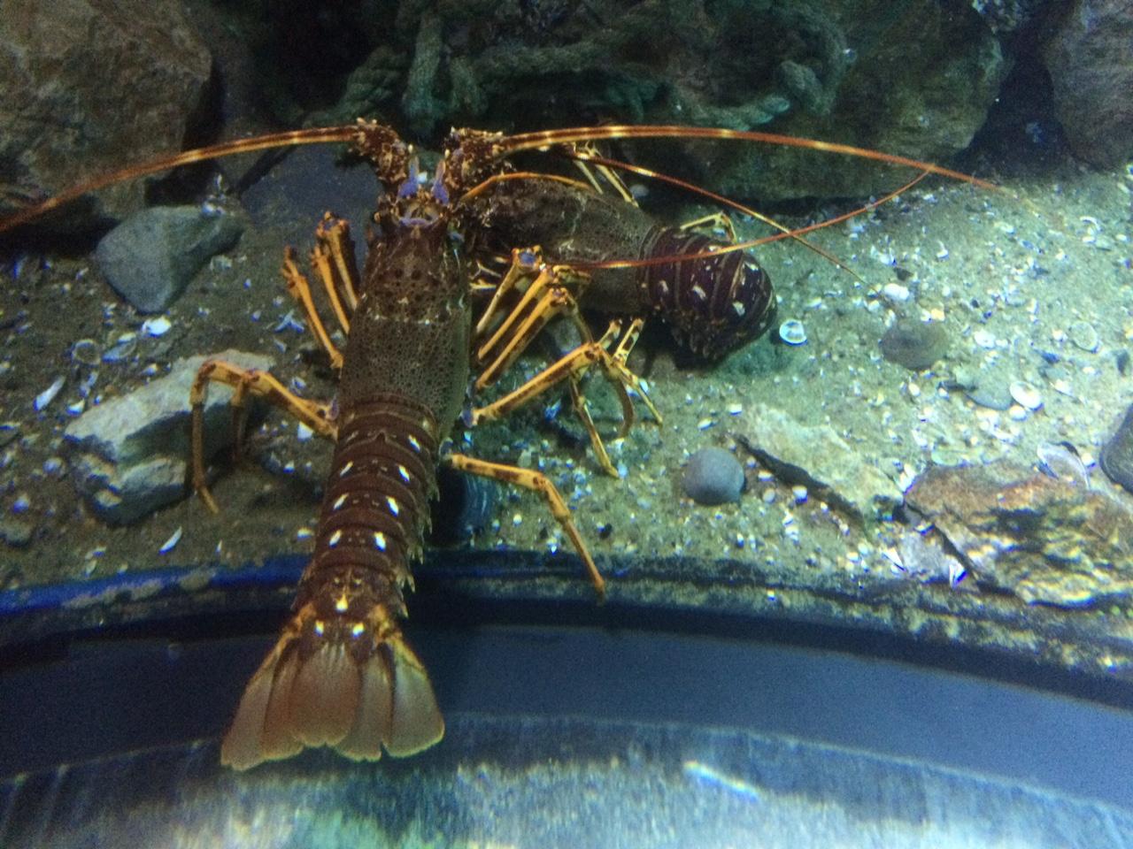 Japanese spider crab at the london aquarium