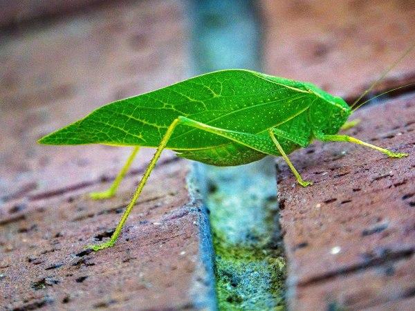 Big Leafy Bug