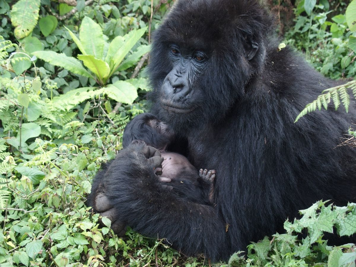 Inside Look: Clouds Mountain Gorilla Lodge