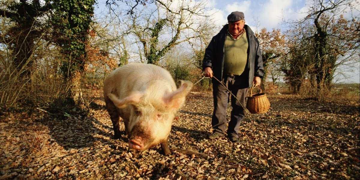 trufflehunter pig