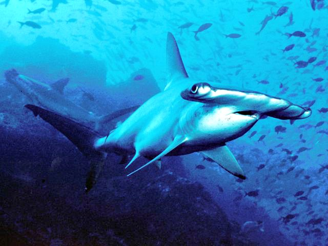 Hammerhead Shark Facts Q & A | Fun Facts You Need to Know!