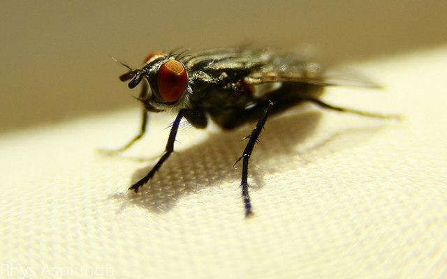 House_fly