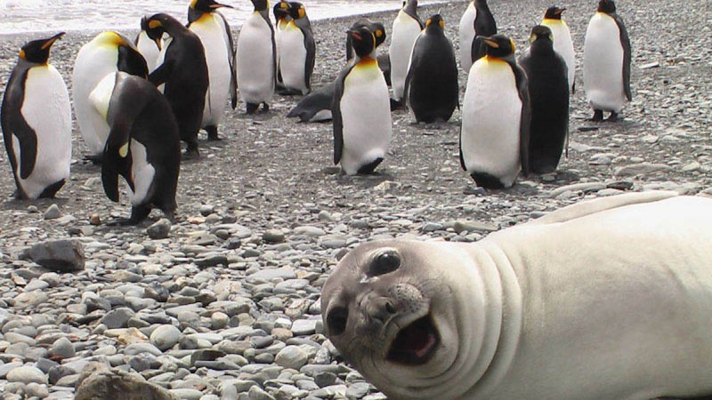 Seal photobombing penguins
