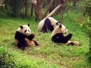 Chengdu-pandas-d10