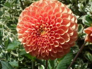 A Dahlia: There's none of this here.