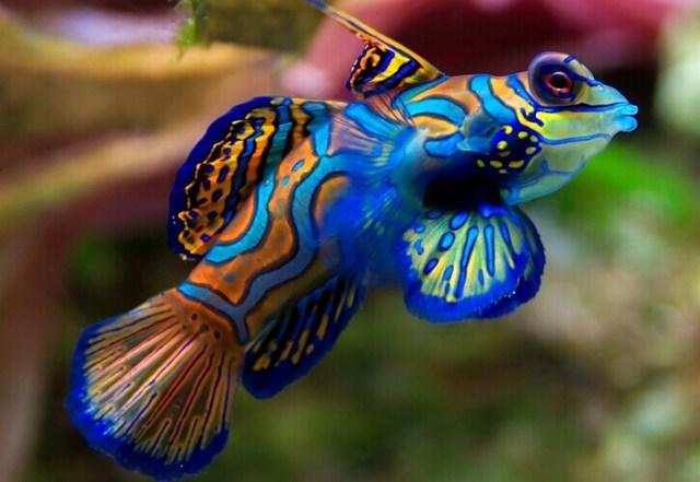 Ikan Mandarin (enkvillage.com)