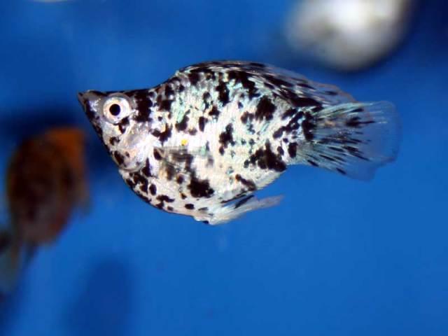 Ikan Molly (sentralkoi.com)