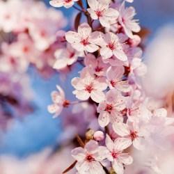 cherry_blossom_3-wallpaper-1680x1050