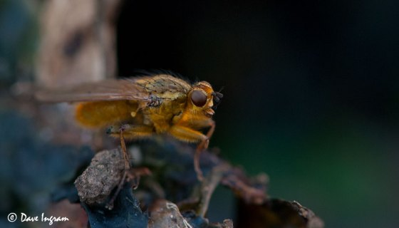 Golden-haired Dung Fly (Scathophaga stercoraria)