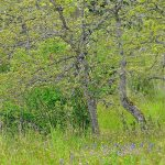 Garry Oak Meadow