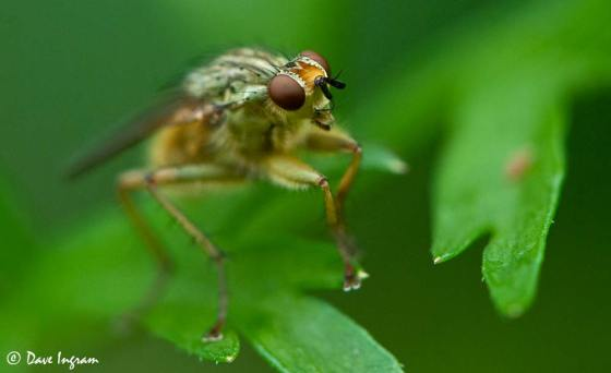 Golden-haired Dung Fly
