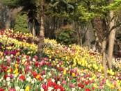 Tulpenpracht in Emirgan