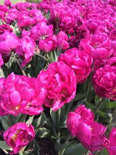 Tulpenfestival3
