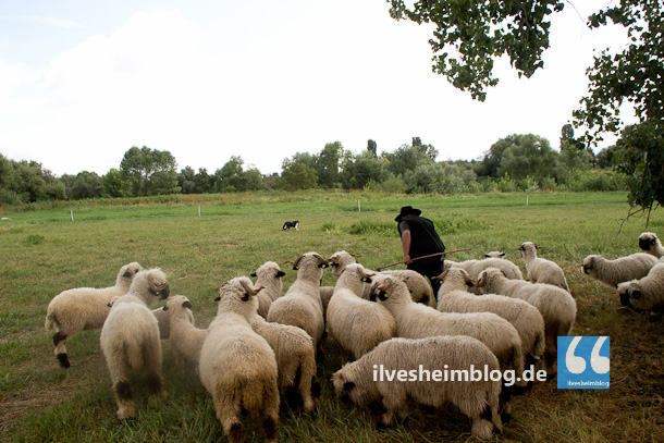 xanthopoulos tierzucht ilvesheim-130813- IMG_8580