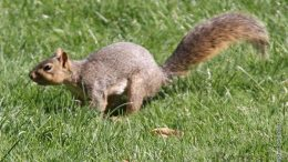 Fox squirrels, although they are not native to Idaho, are plentiful on campus.