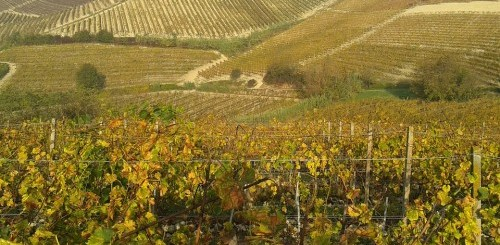 vineyard of Piemonte