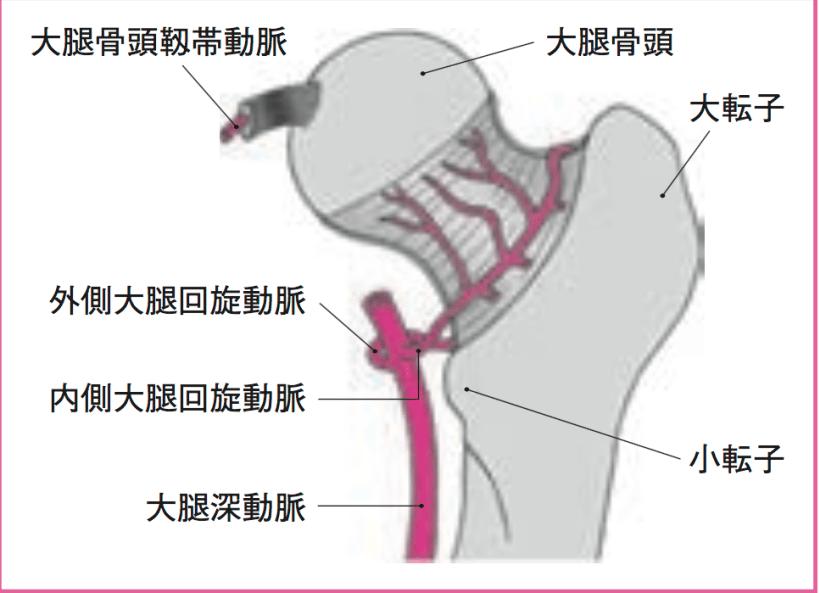 大腿骨頭 血行