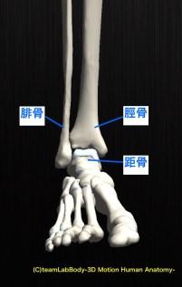 足関節 骨