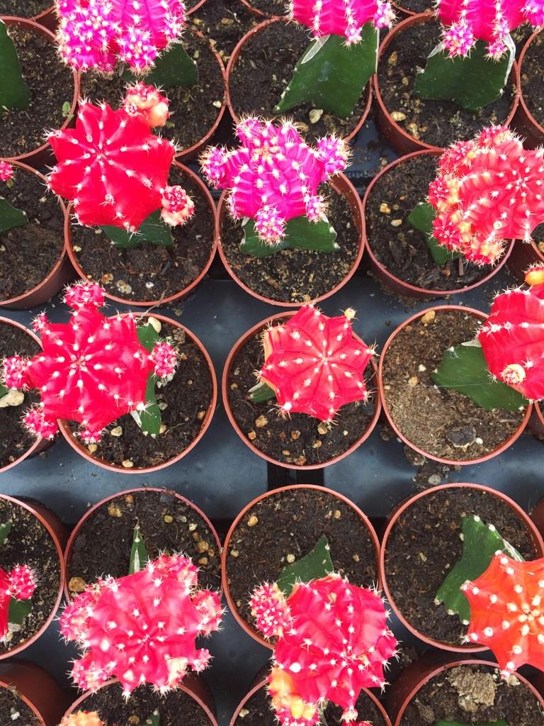cacti, itsy bitsy indulgences