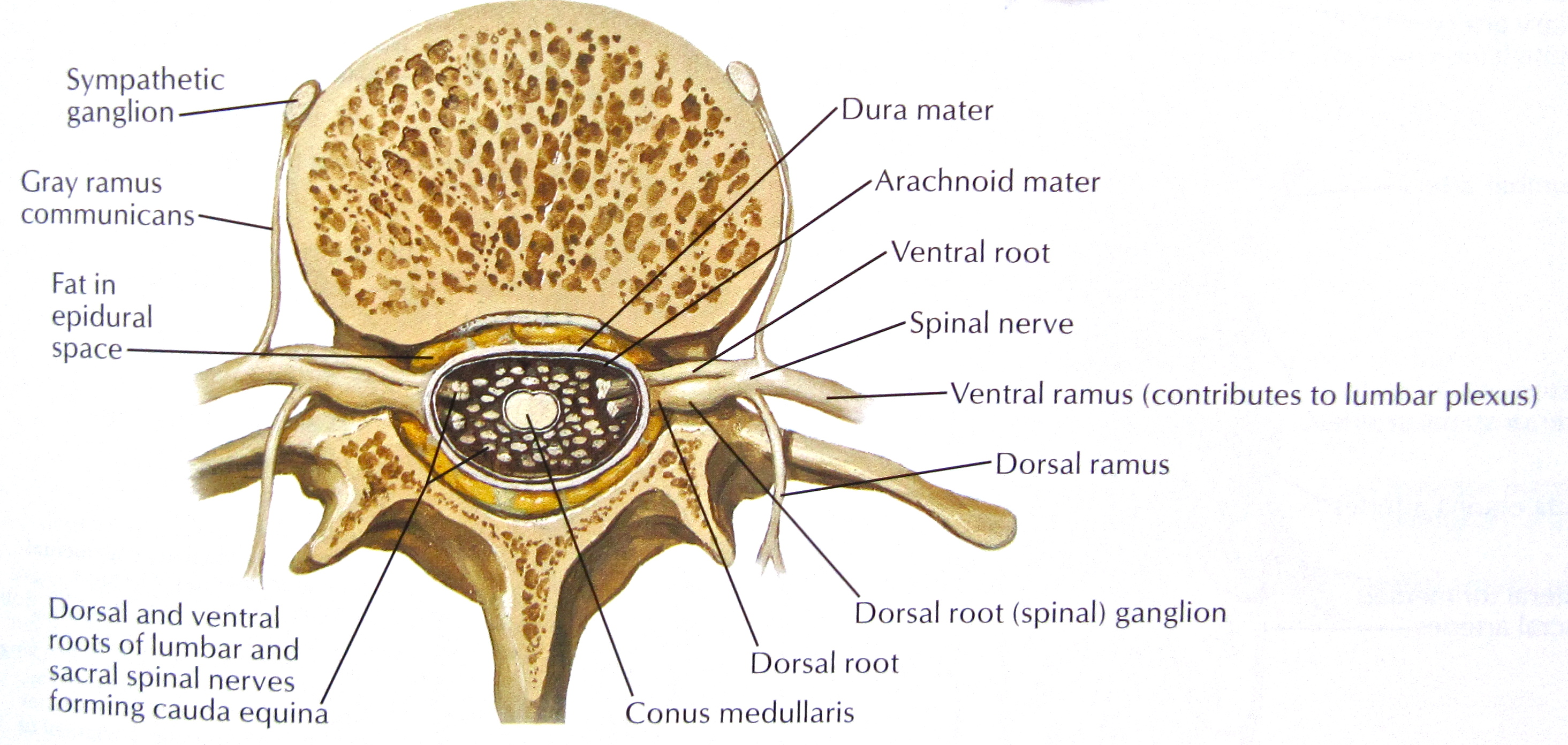 Notes on Anatomy and Physiology: Spinal Stenosis - The ...
