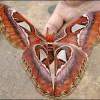 史上最大の蛾「ヨナグニサン」の生態!リアルモスラの大きさと美しさ!【世界巨大生物シリーズ】