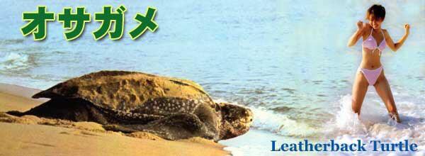 オサガメの画像 p1_22