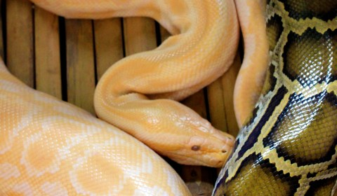 The colours of the albino python are a stark contrast to that of the normal one.