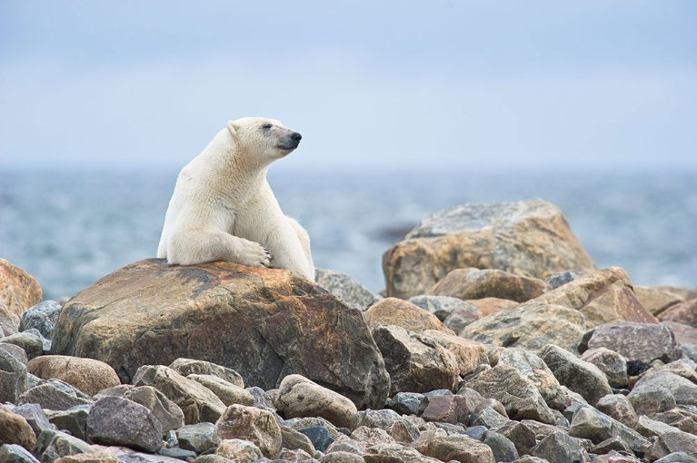 Photo belongs to Churchill Wild - click to visit their website. One of the Churchill's majestic polar bears.