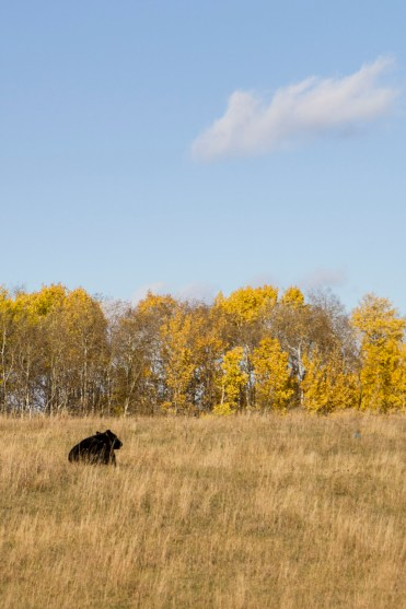 Cow in Field - 20+ Photos Guaranteed to Inspire a Manitoba Road Trip :: I've Been Bit! A Travel Blog