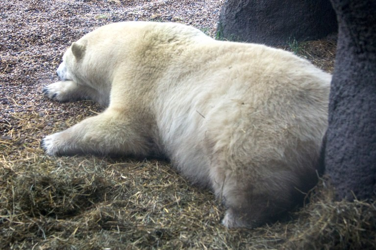 Polar Bears of the Assiniboine Park Zoo, Manitoba Road Trip - 7 Days of Canadian Prairie Adventure :: I've Been Bit A Travel Blog