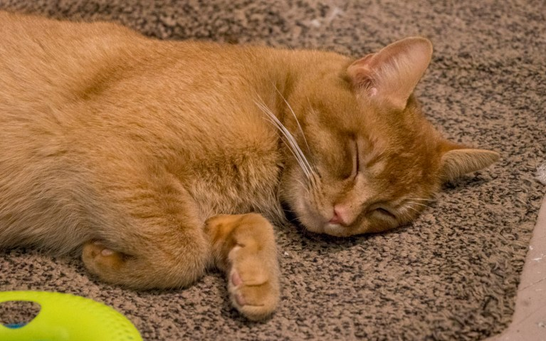 A Cat Sleeping at My Kitty Cafe :: I've Been Bit! A Travel Blog