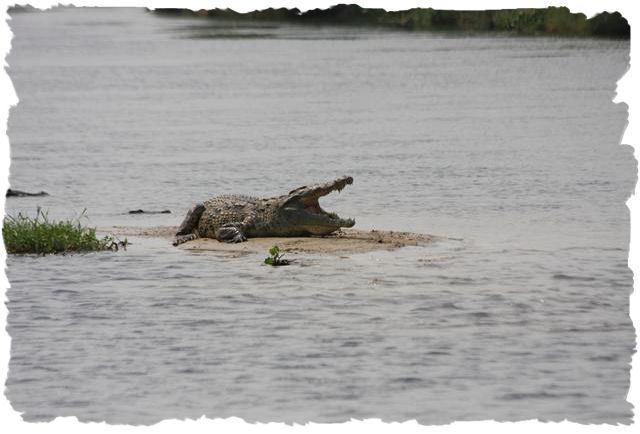 krokodil_op_waterkant