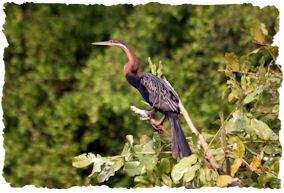 slangehalsvogel