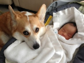 Adorable pics: Wilbur the Corgi falls in love