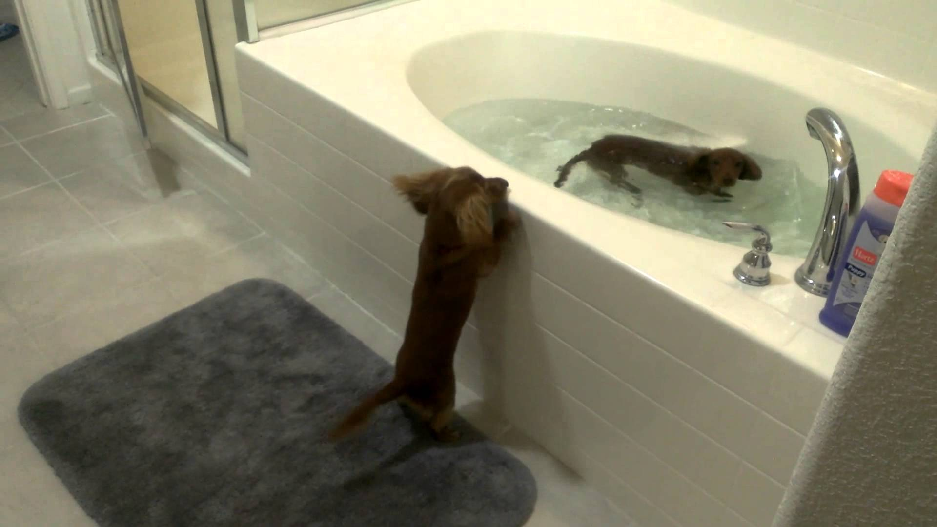 Your daily dose of cute: Dachshund bath time edition