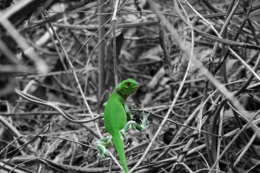 young_iguana_1080