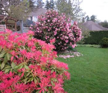 Red Rhododendrons