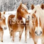 stock-photo-19220535-horses-in-white-winter-landscape