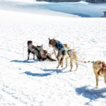 stock-photo-28640992-group-of-harnessed-sled-dogs