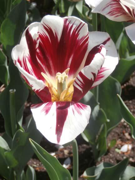 tulip_blog